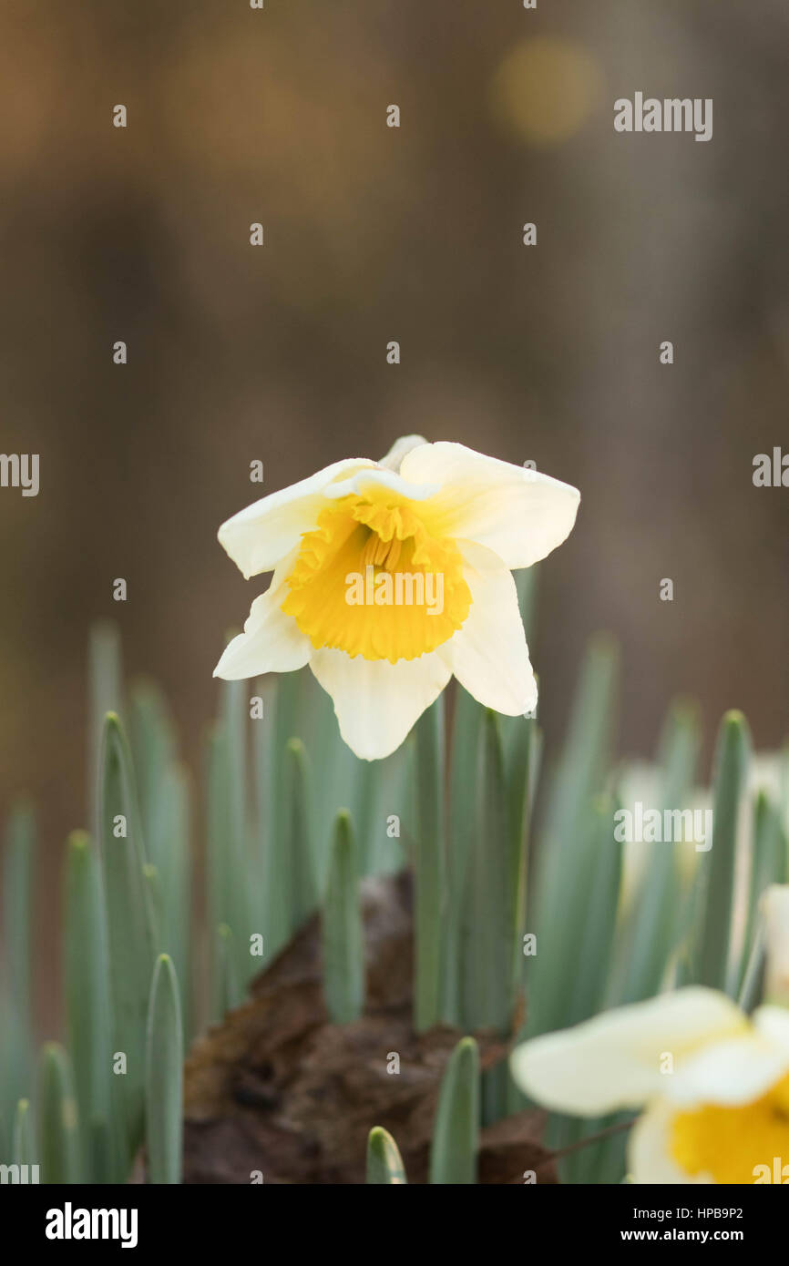 Two-tone Yellow Daffodil Portrait Style - Stock Image
