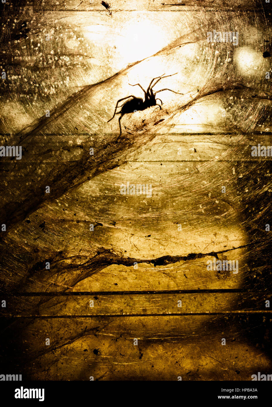 Silhouette of funnel web and spider between two window panes. - Stock Image