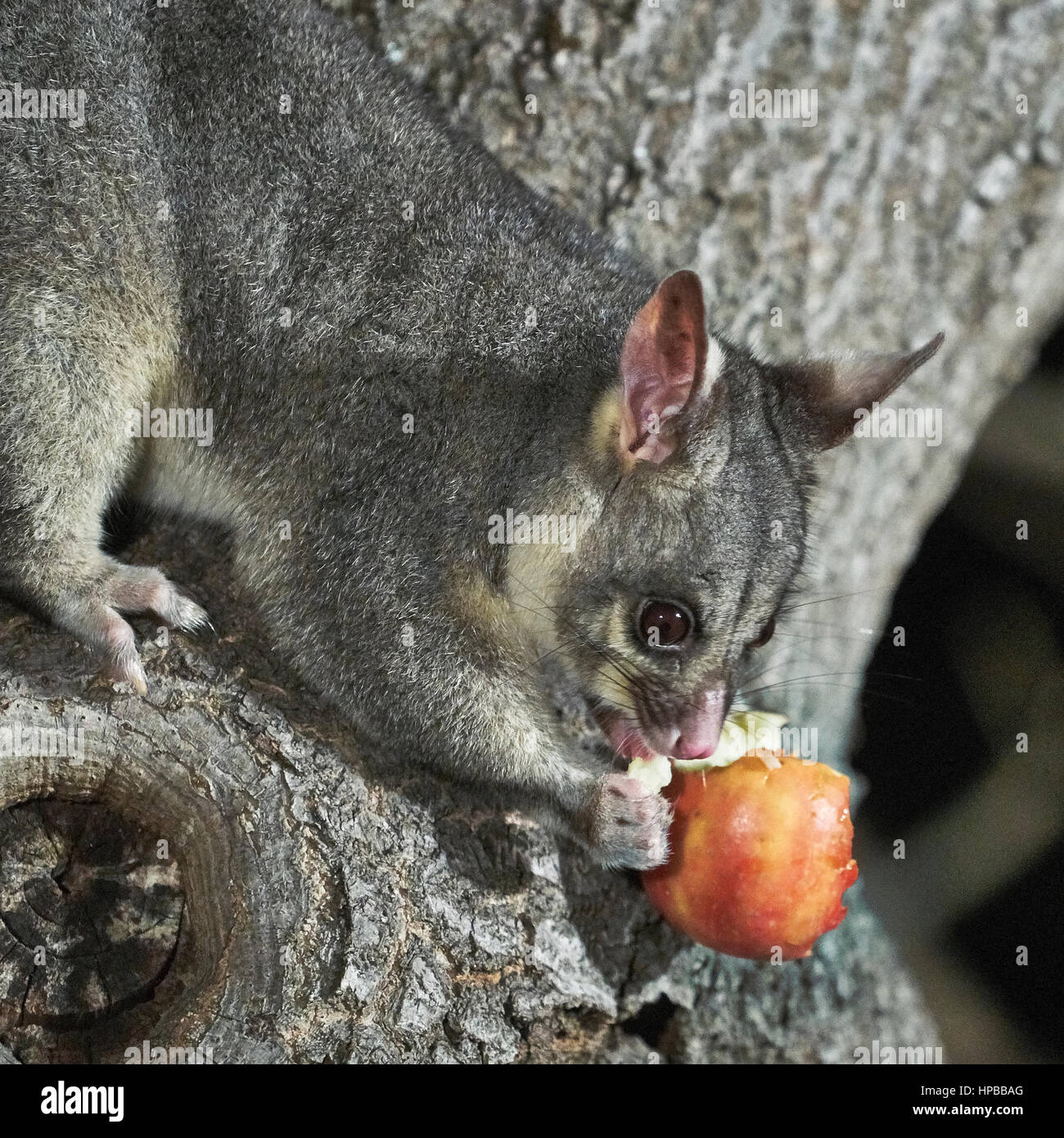 Young Australian Brushtail Possum in a tree, Adelaide, SA
