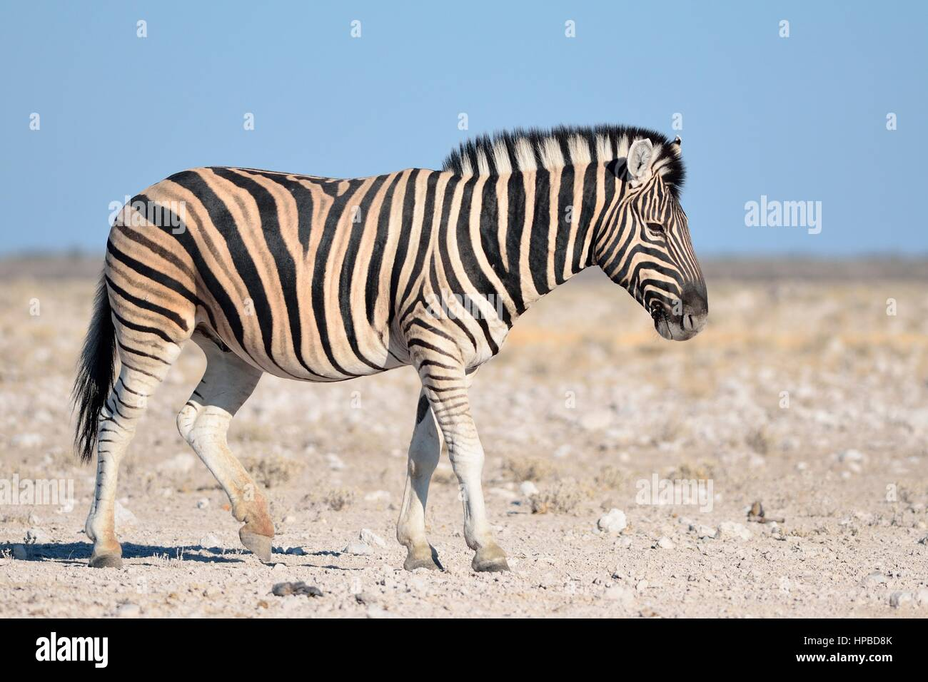 Burchell's zebra (Equus quagga burchellii), walking on stony ground, Etosha National Park, Namibia, Africa - Stock Image