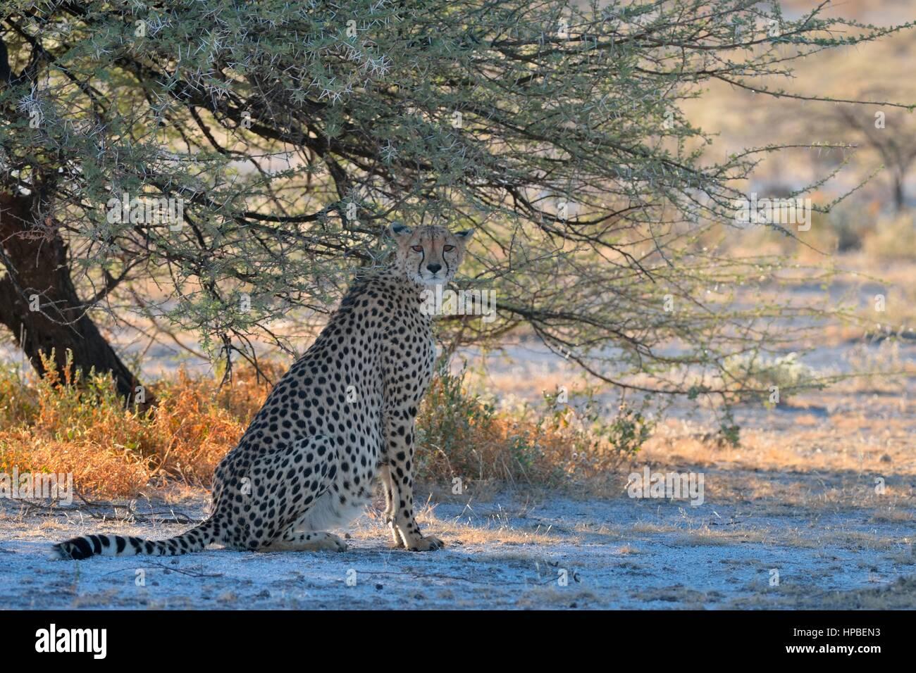 Cheetah (Acinonyx jubatus), female, sitting in the shade of a tree, attentive, Etosha National Park, Namibia, Africa - Stock Image