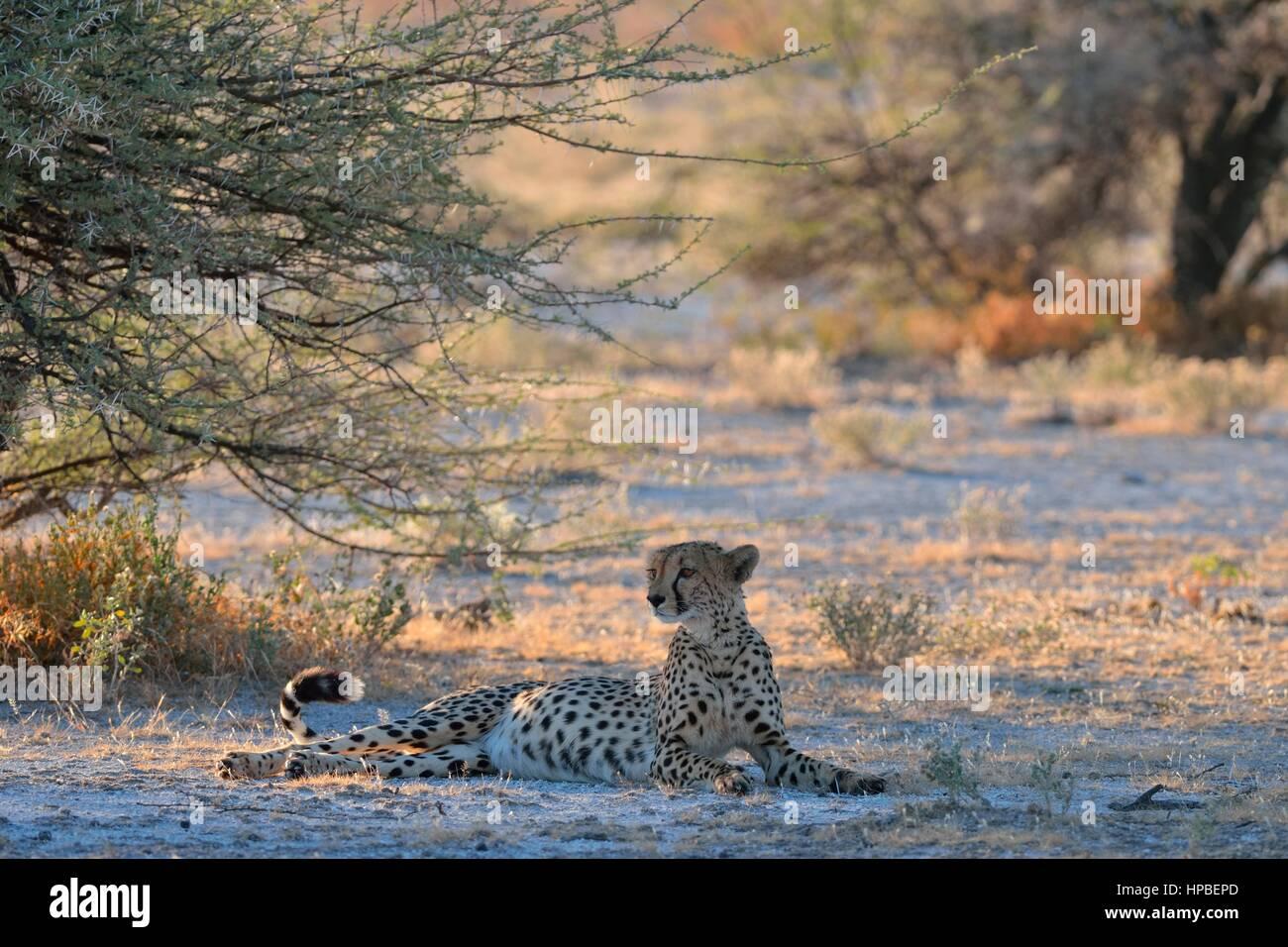 Cheetah (Acinonyx jubatus), female, lying in the shade of a tree, attentive, Etosha National Park, Namibia, Africa Stock Photo