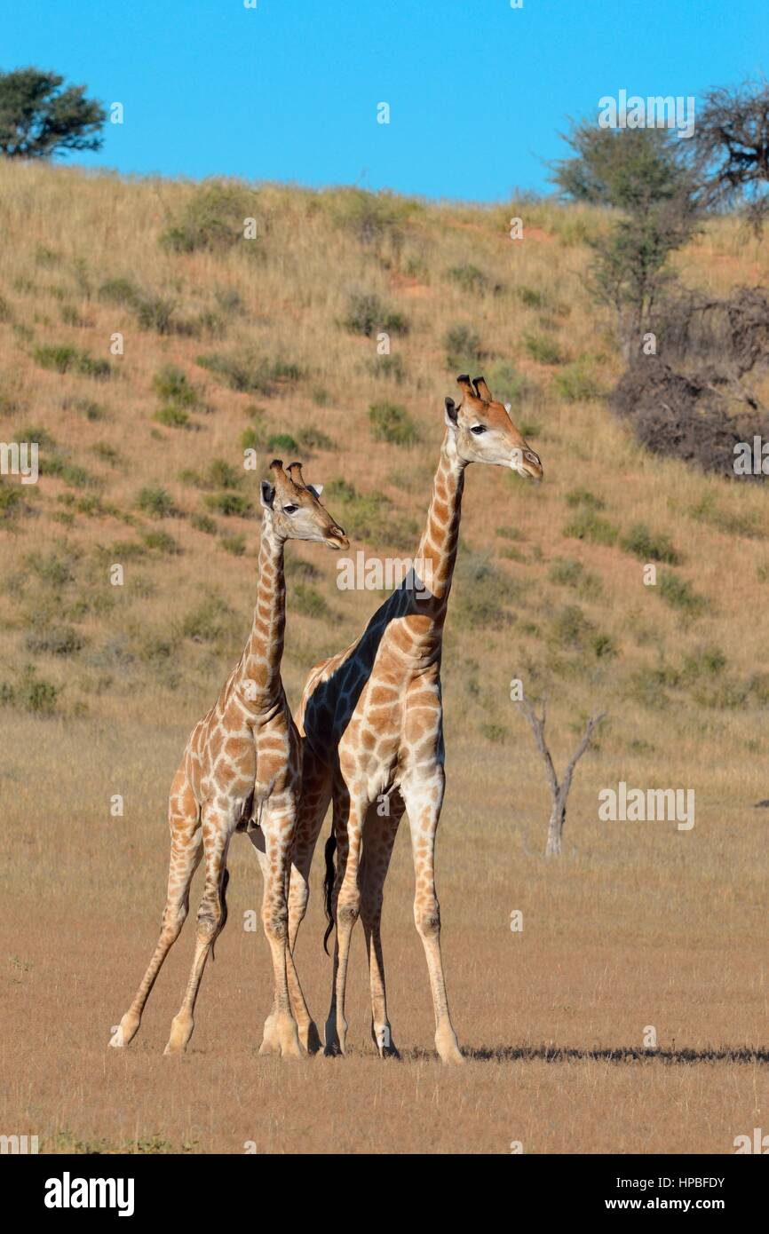 South African giraffes (Giraffa camelopardalis giraffa), two bulls in fighting position, Kgalagadi Transfrontier - Stock Image