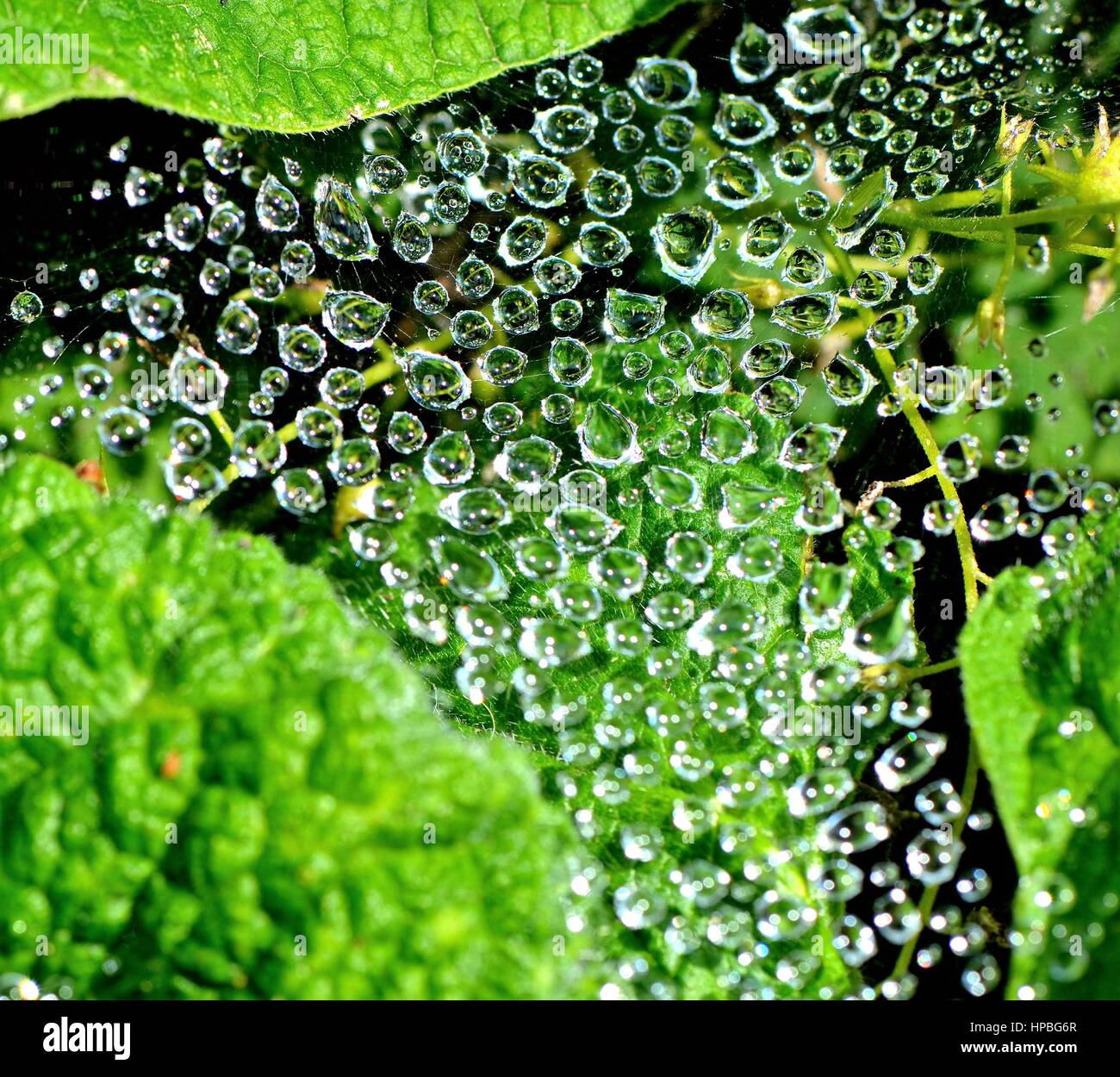 Water Drops on Spider Web - Stock Image