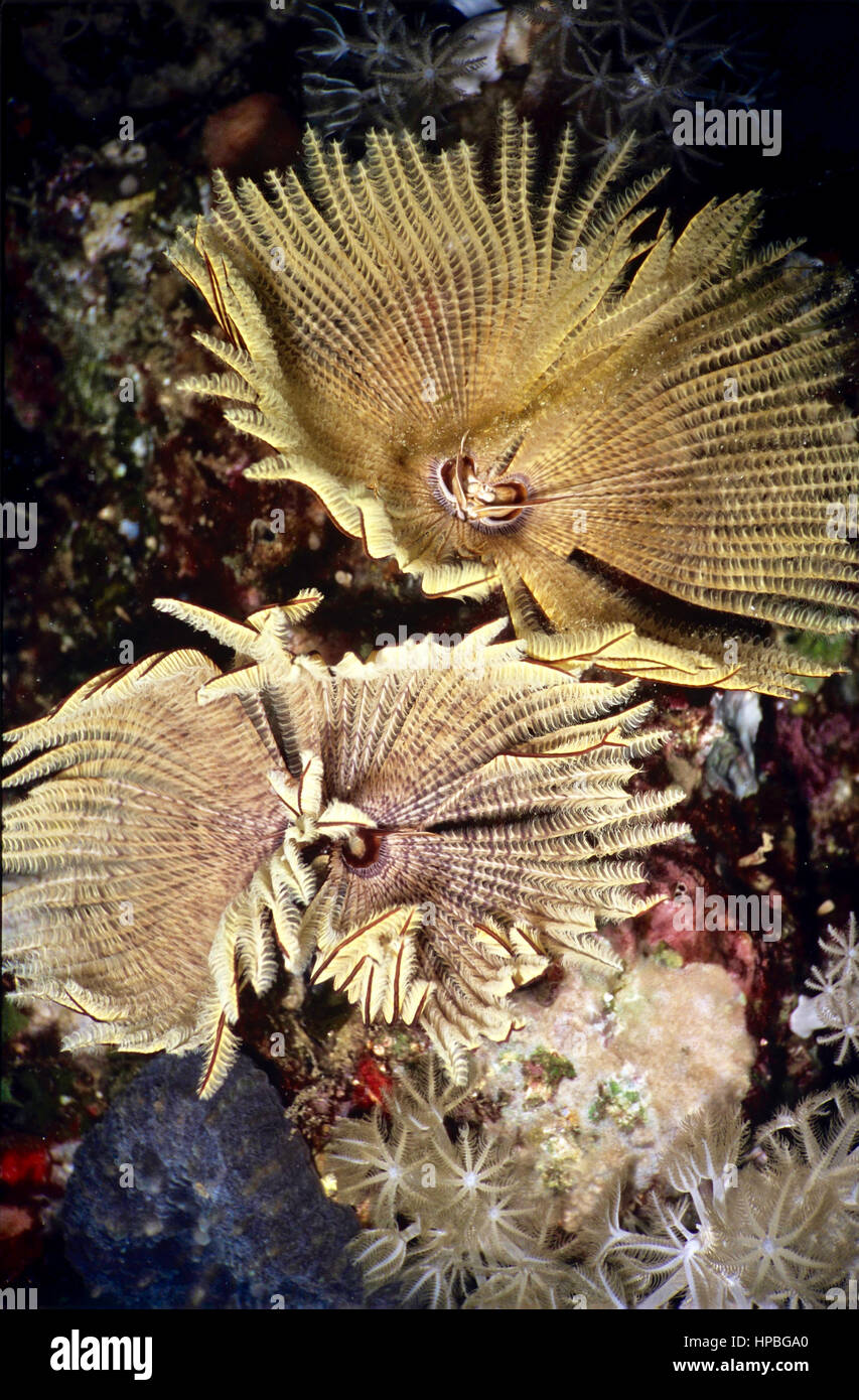 A pair of polychaete tubeworms (Sabellastarte indica). If they detect one approaching, they retract their bodies - Stock Image