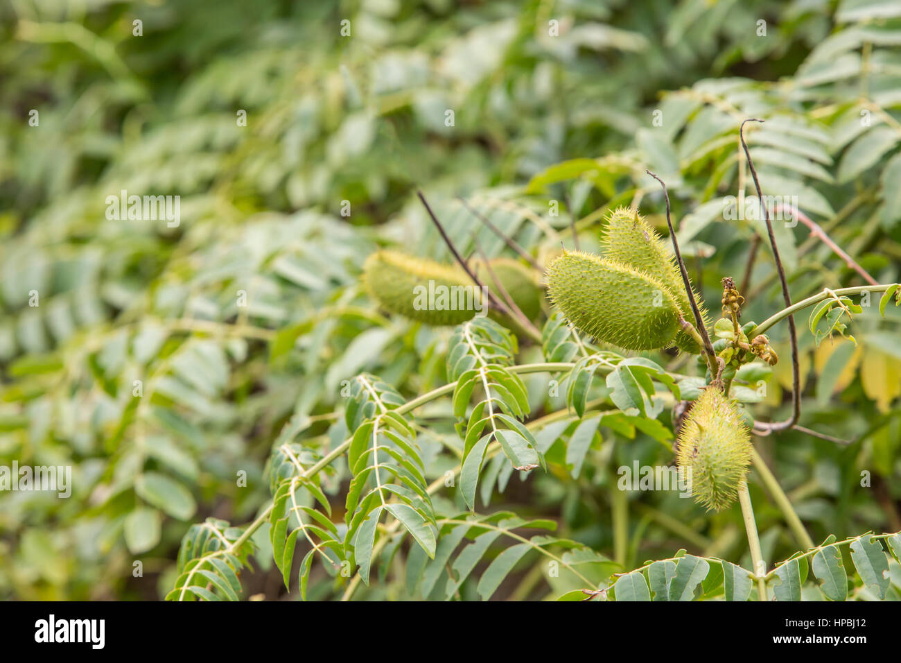 Florida Trees With Pods Stock Photo 134250622 Alamy