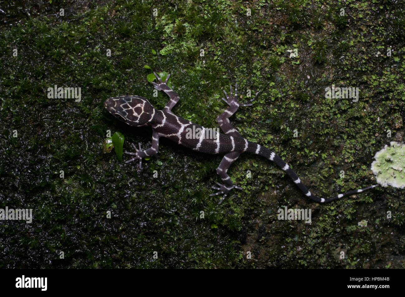 A juvenile Peter's Bent-toed Gecko (Cyrtodactylus consobrinus) in the Malaysian rainforest at night - Stock Image