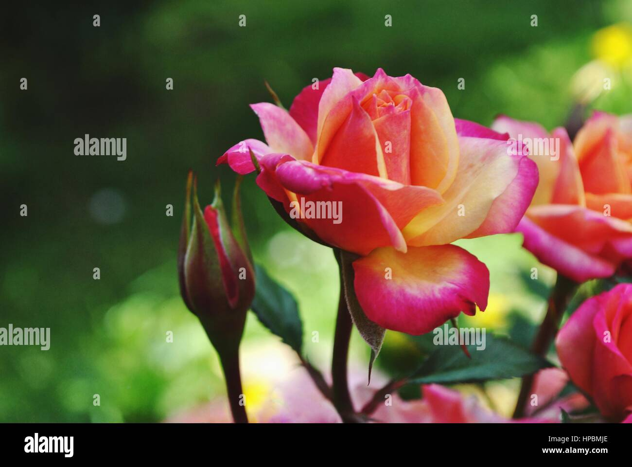 two colour rose stock photos two colour rose stock images alamy