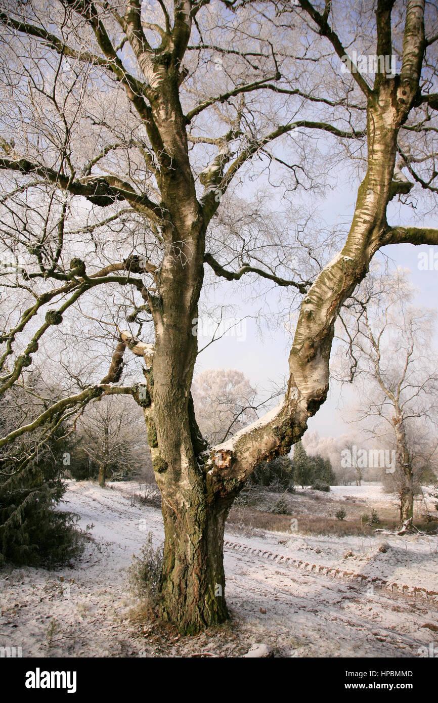 Lüneburger Heide im Winter, Niedersachsen, Deutschland Stock Photo