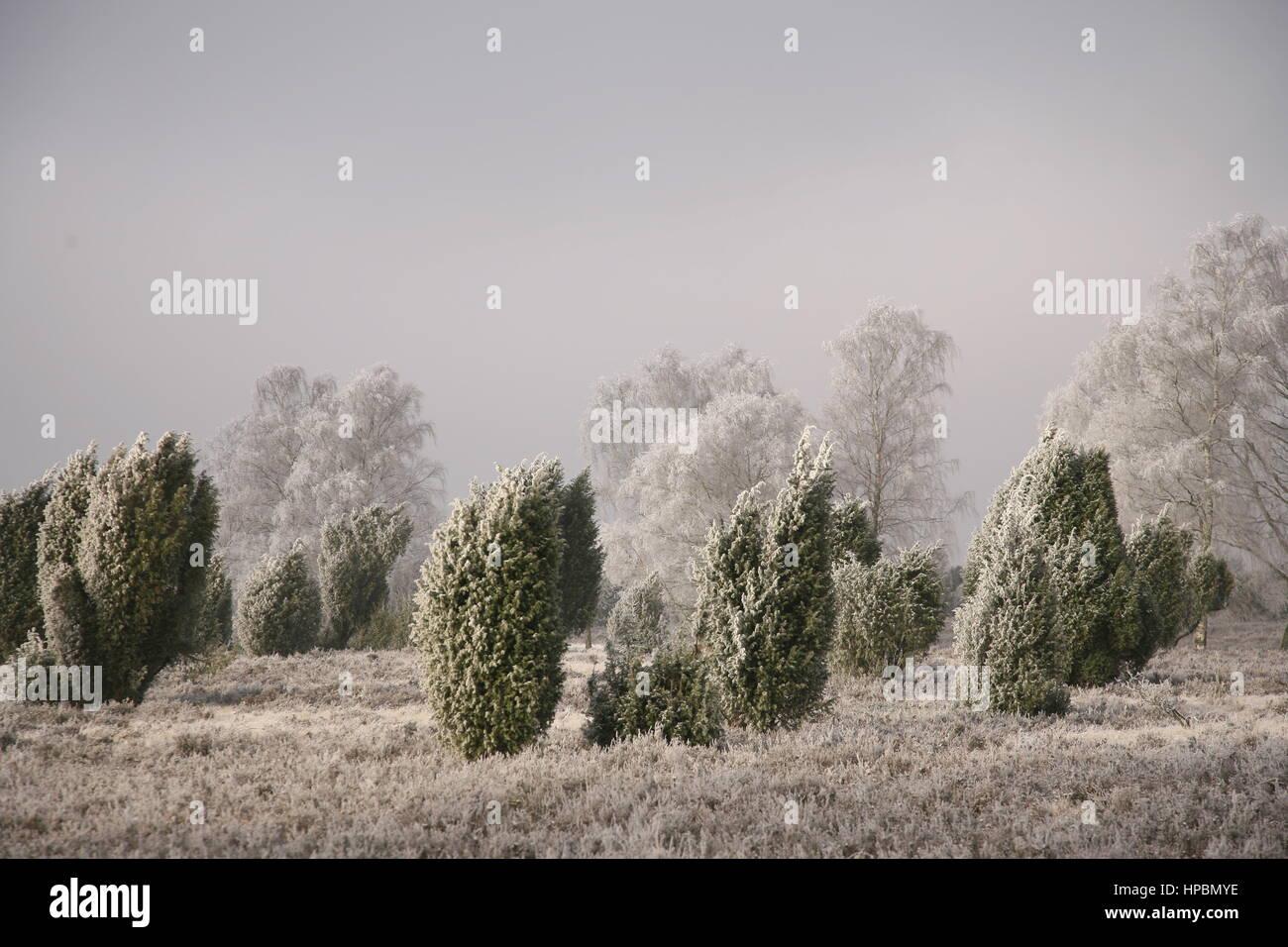 Lüneburger Heide im Winter, Niedersachsen, Deutschland - Stock Image