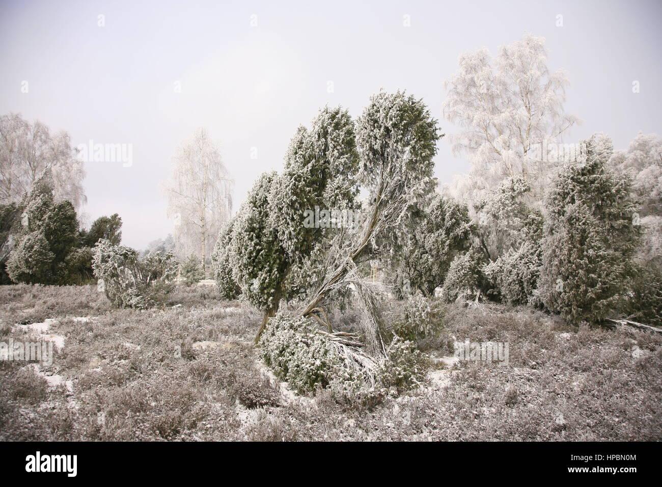 Lüneburger Heide, im Winter, Niedersachsen, Deutschland - Stock Image
