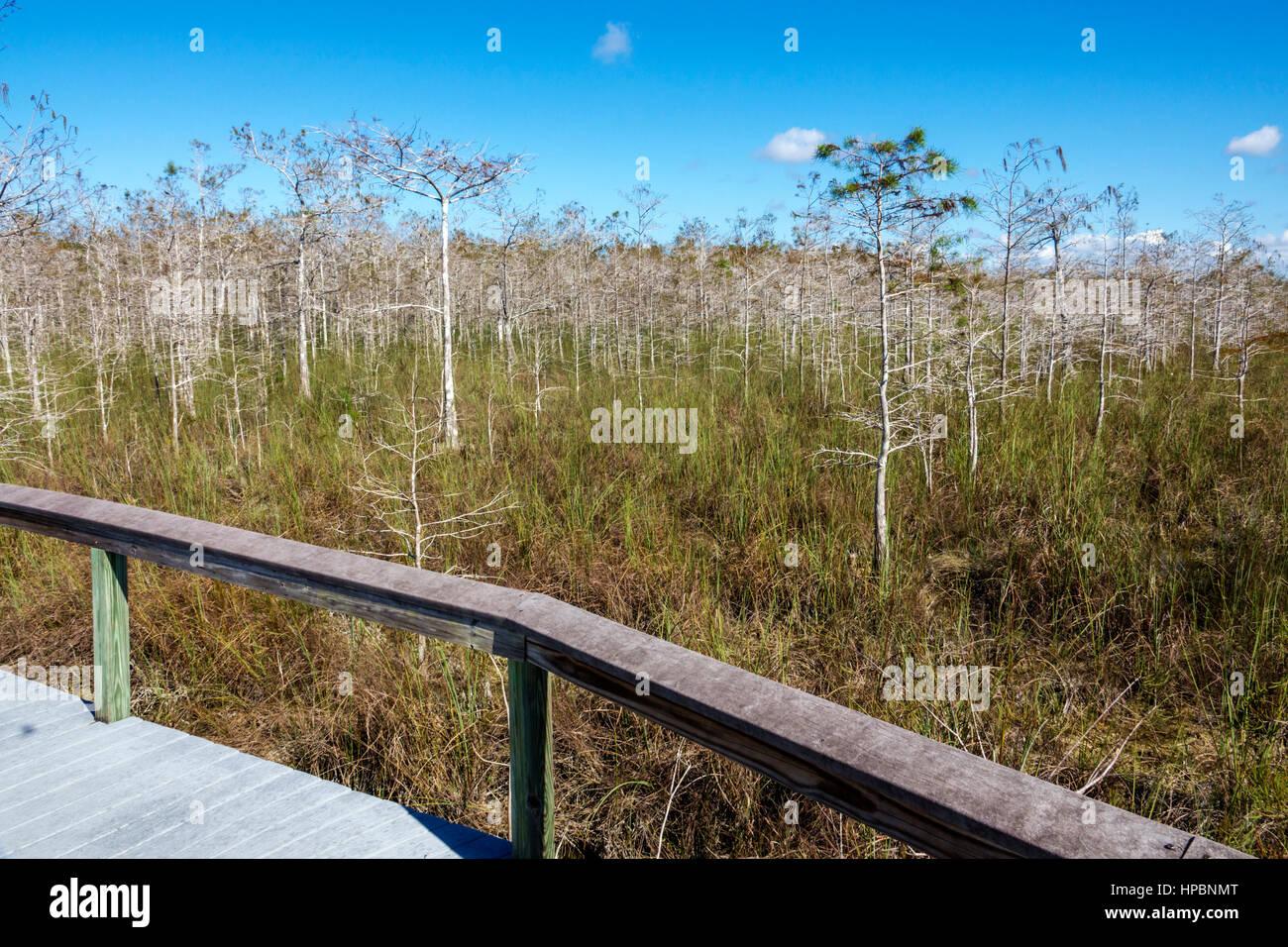 Florida Everglades National Park trail freshwater marl prairie dwarf cypress boardwalk - Stock Image