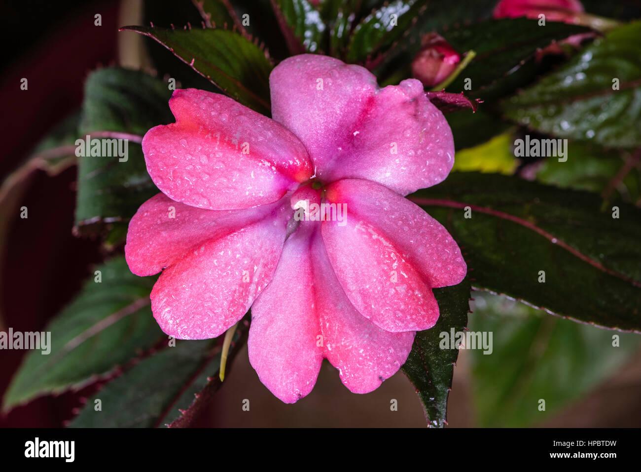 Dianthus Flowers Stock Photos Dianthus Flowers Stock Images Alamy