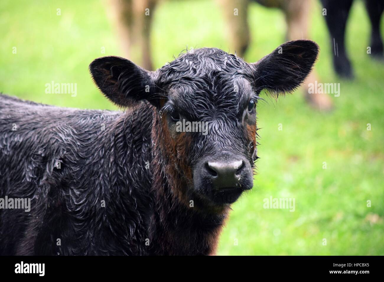Cows interrupting a spring turkey hunt - Stock Image