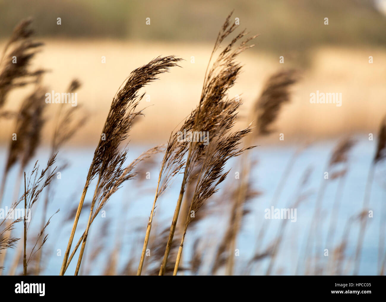 Windswept Reeds at Loch Lannagh, Castlebar,  Co Mayo in the West of Ireland - Stock Image