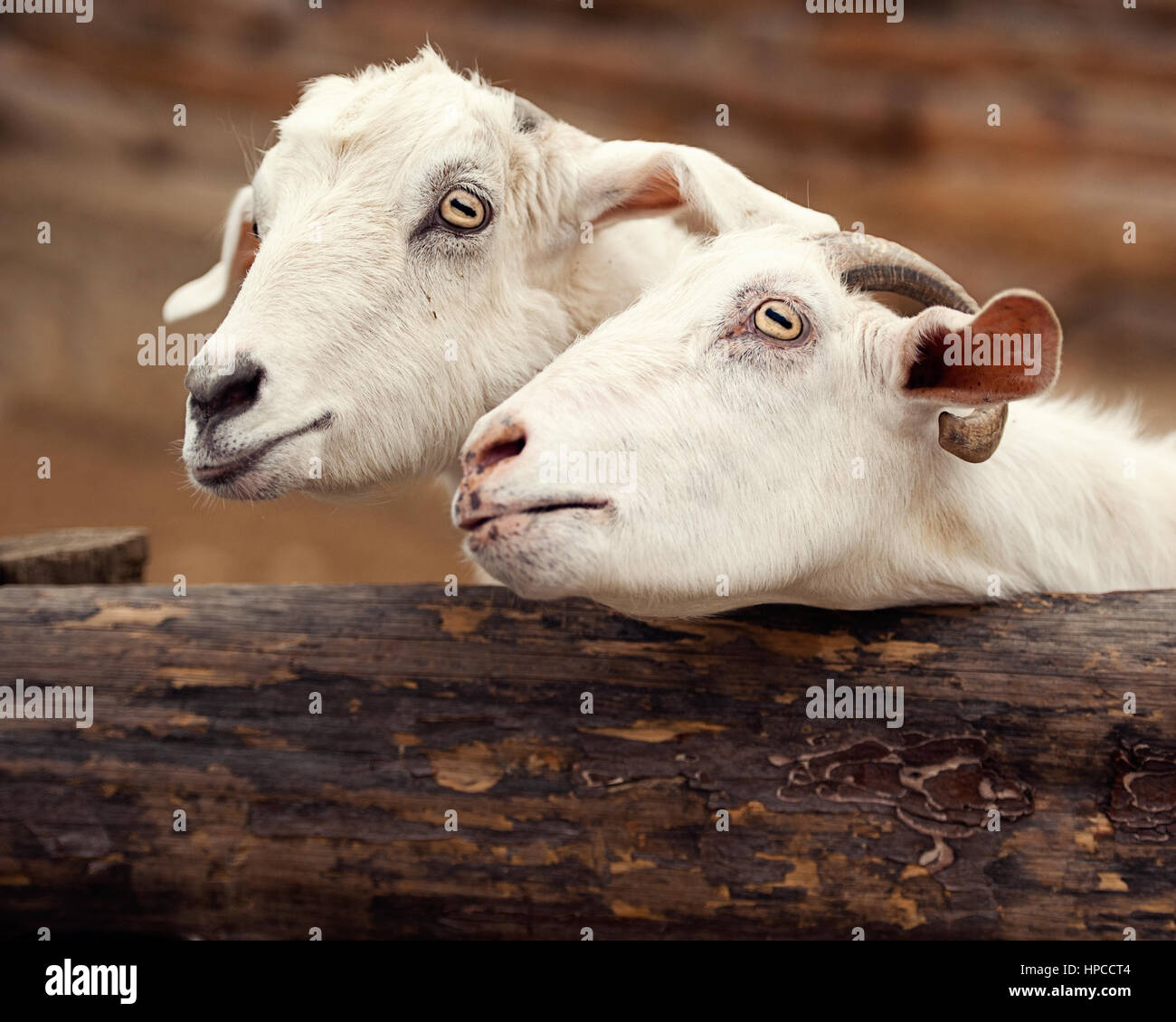 Close-Up Of White Goats - Stock Image
