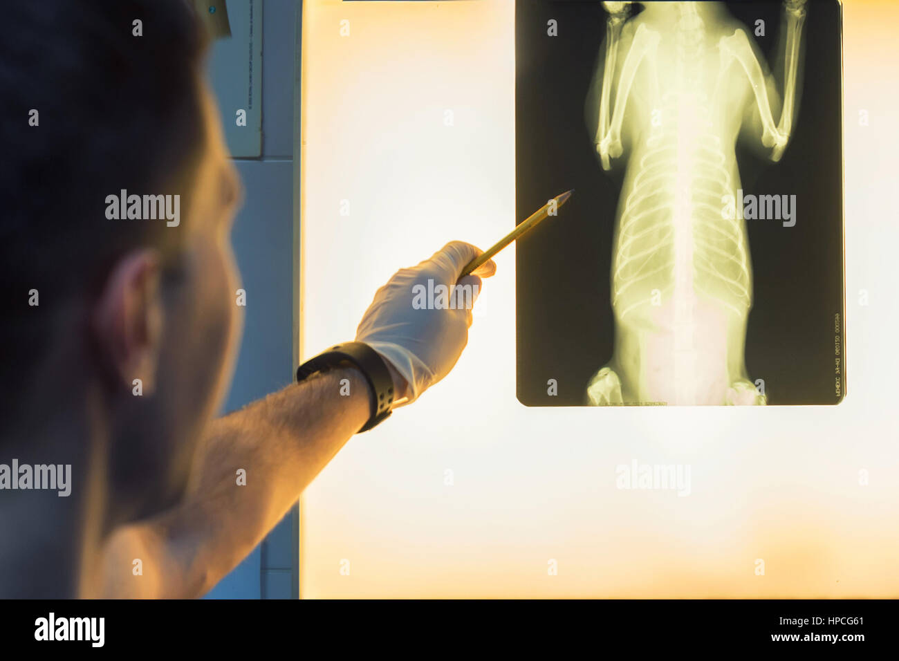 Veterinary doctor examining pet radiograph - Stock Image