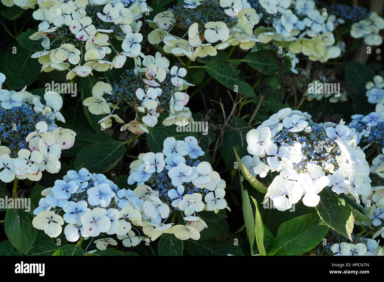 Blue flowering bush stock photos blue flowering bush stock images pale blue hydrangea flowers and bush in the garden stock image izmirmasajfo