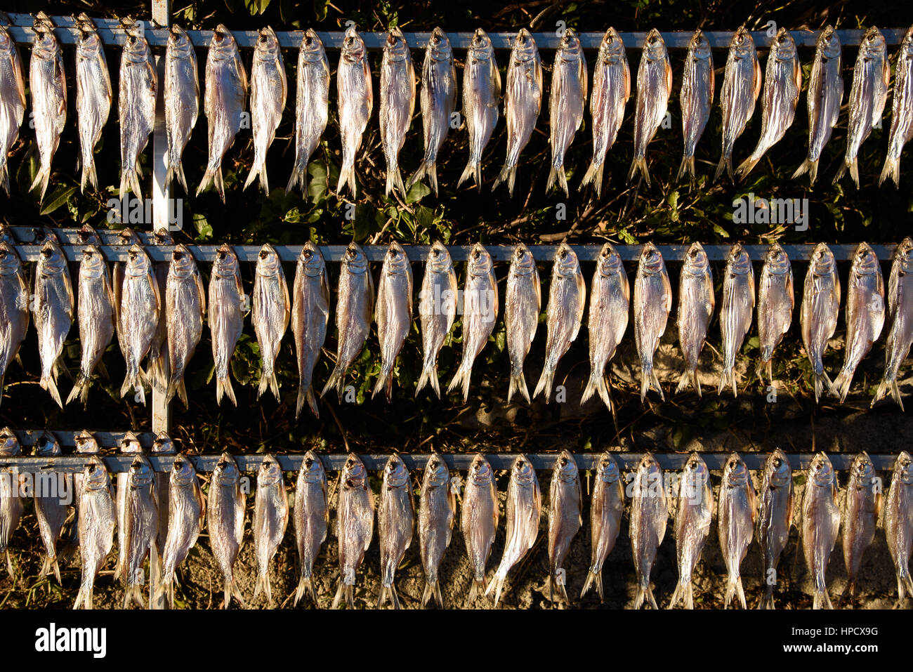 shad exposed to the sun to dry - Stock Image