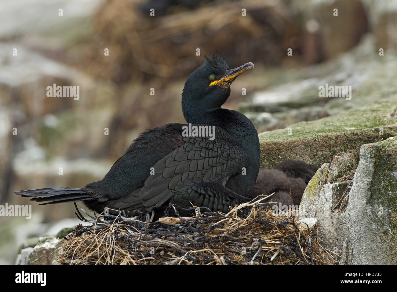 Shag sitting on newly hatched chicks in a nest - Stock Image