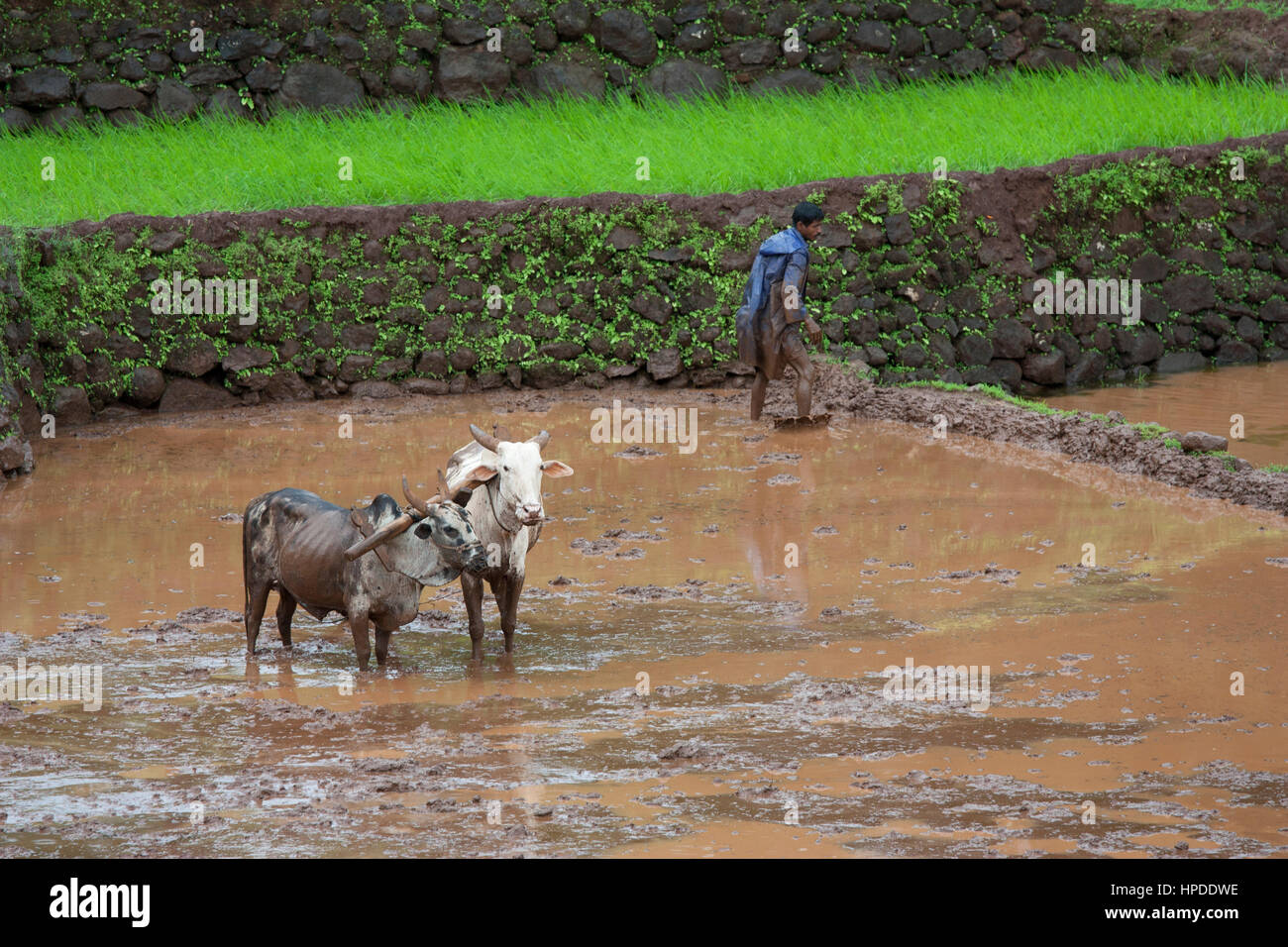 Man in blue raincoat busy in land preparation for transplanting of rice seedlings - Stock Image