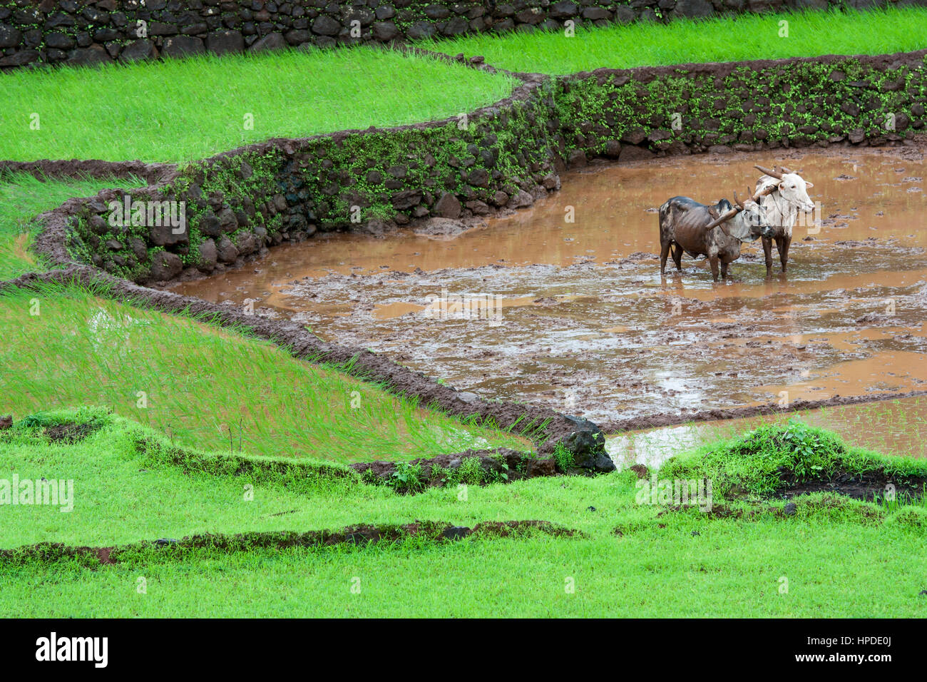 Pair of bullocks are waiting for work in paddy field - Stock Image