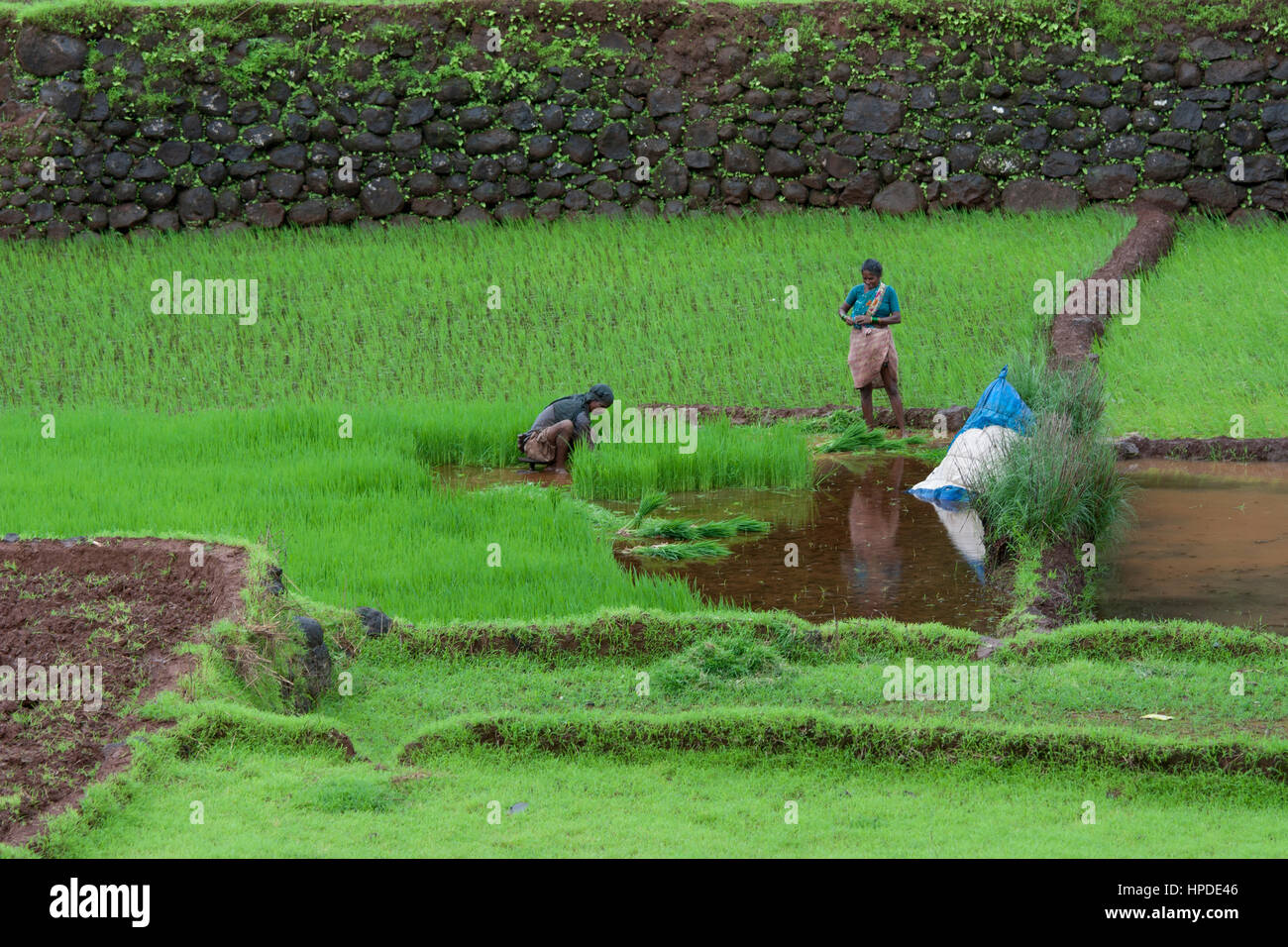 A man and a woman working on transplanting of rice seedlings in paddy field - Stock Image