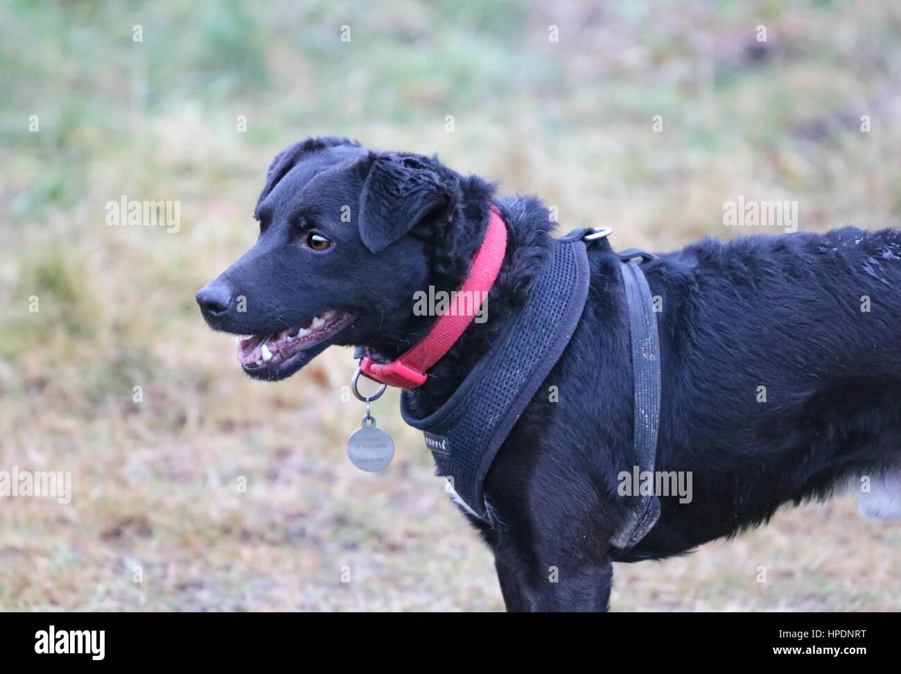 Patterdale Terrier wearing Harness on a walk Stock Photo