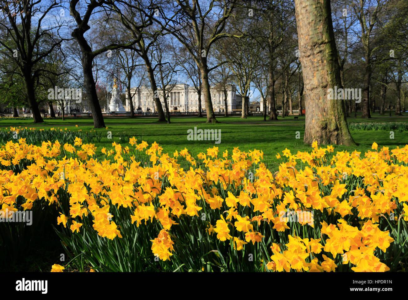 Spring Daffodils, frontage of Buckingham Palace, St James, London, England, UK Stock Photo