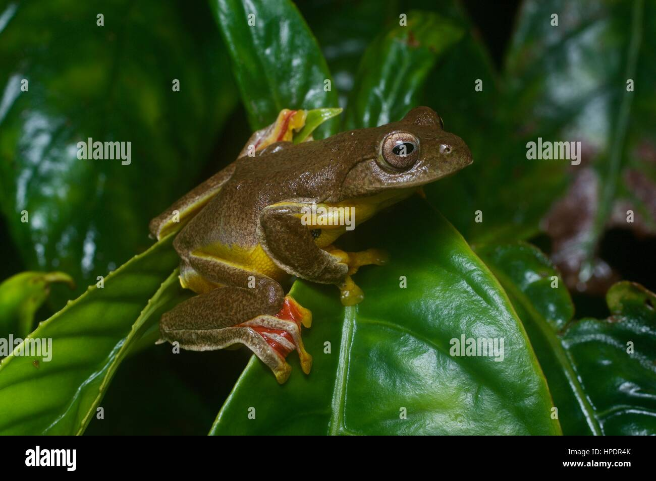A Twin-spotted Flying Frog (Rhacophorus bipunctatus) in the rainforest at night in Genting Highlands, Pahang, Malaysia Stock Photo