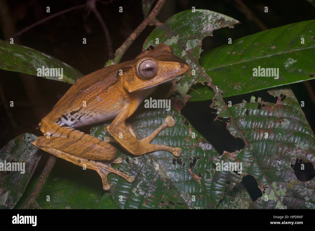 A File-eared Tree Frog (Polypedates otilophus) in the rainforest at night at Kubah National Park, Sarawak, East - Stock Image