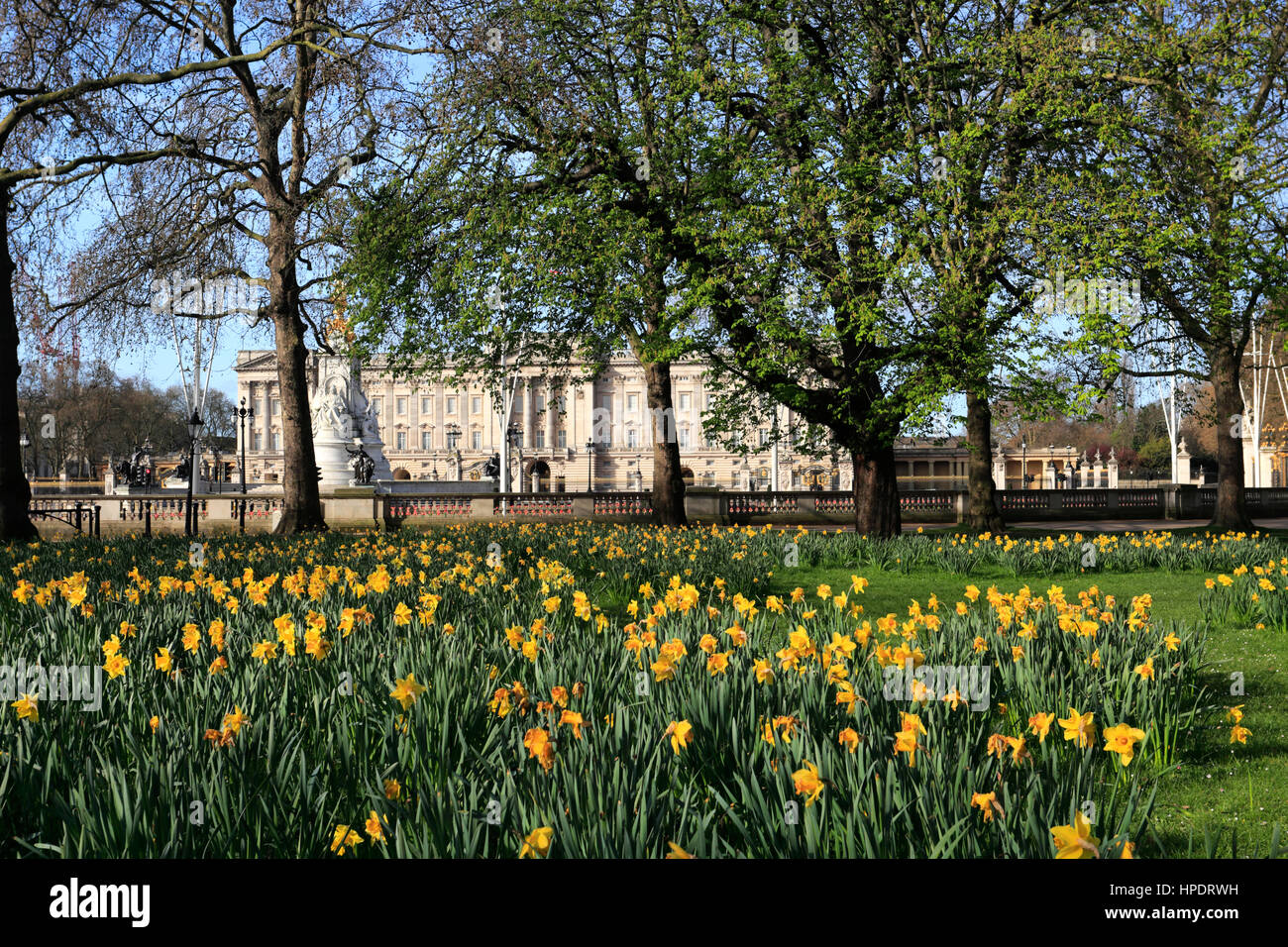 Spring Daffodils, frontage of Buckingham Palace, St James, London, England, UK - Stock Image