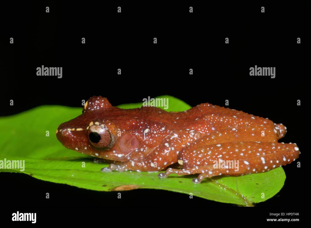 A Cinnamon Frog (Theloderma pictum) in the rainforest at night in Ulu Yam, Selangor, Malaysia - Stock Image