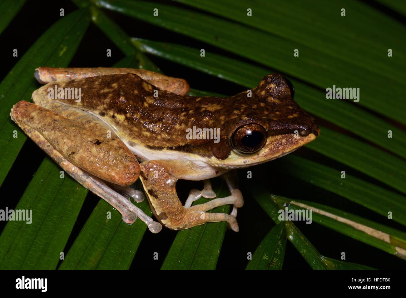 A Dark-eared Tree Frog (Polypedates macrotis) in the rainforest at night in Kubah National Park, Sarawak, East Malaysia, - Stock Image