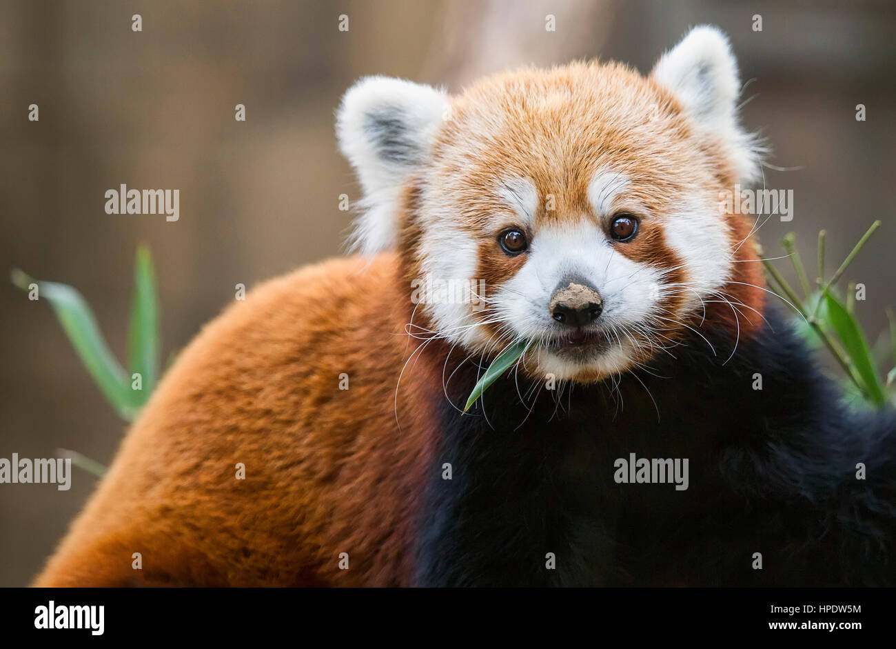 A feeding red panda (Ailurus fulgens) pauses his meal to look at the camera. - Stock Image