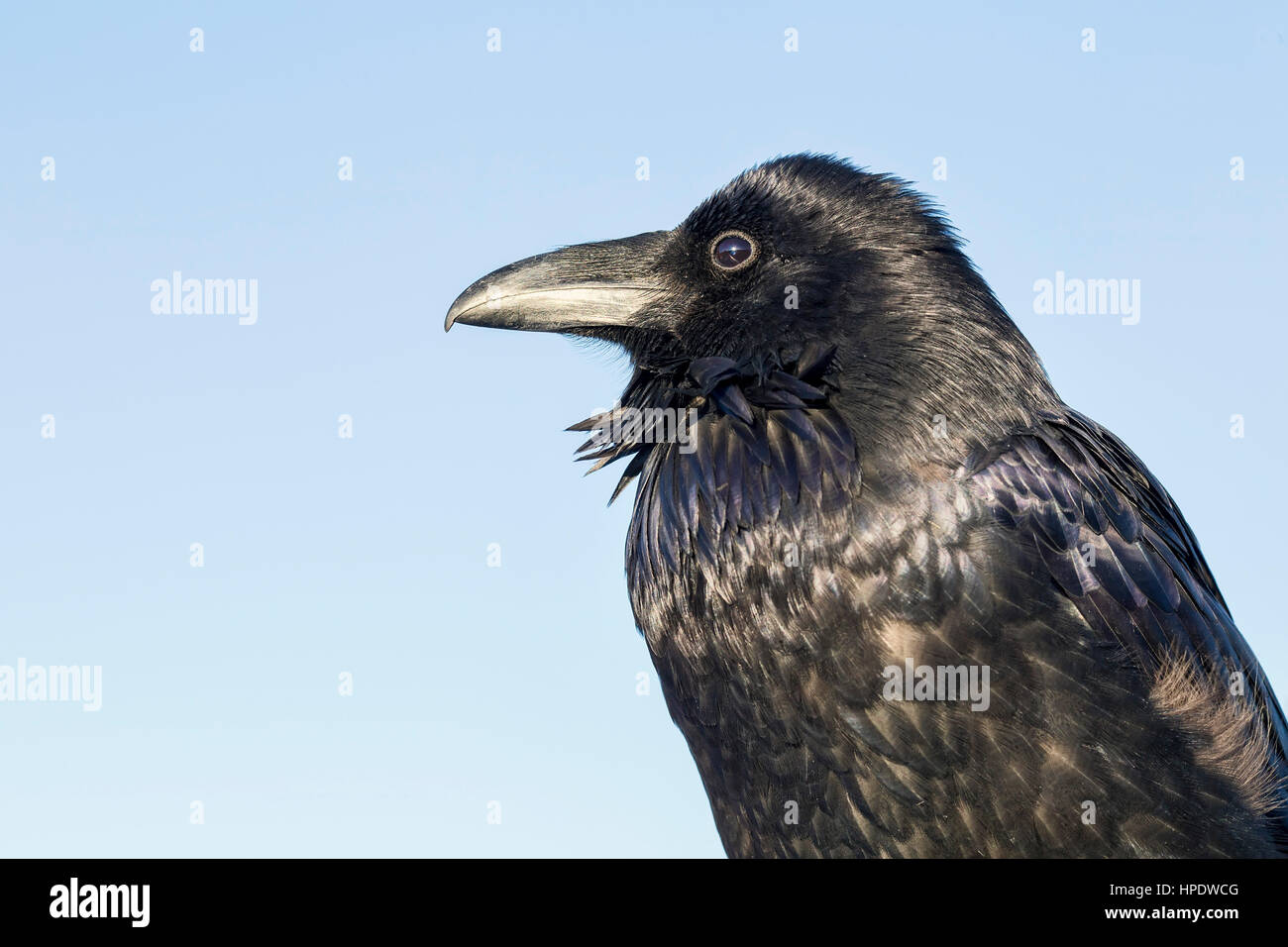 An extremely close portrait of a wild Common Raven (Corvus corax) on a sunny day. - Stock Image