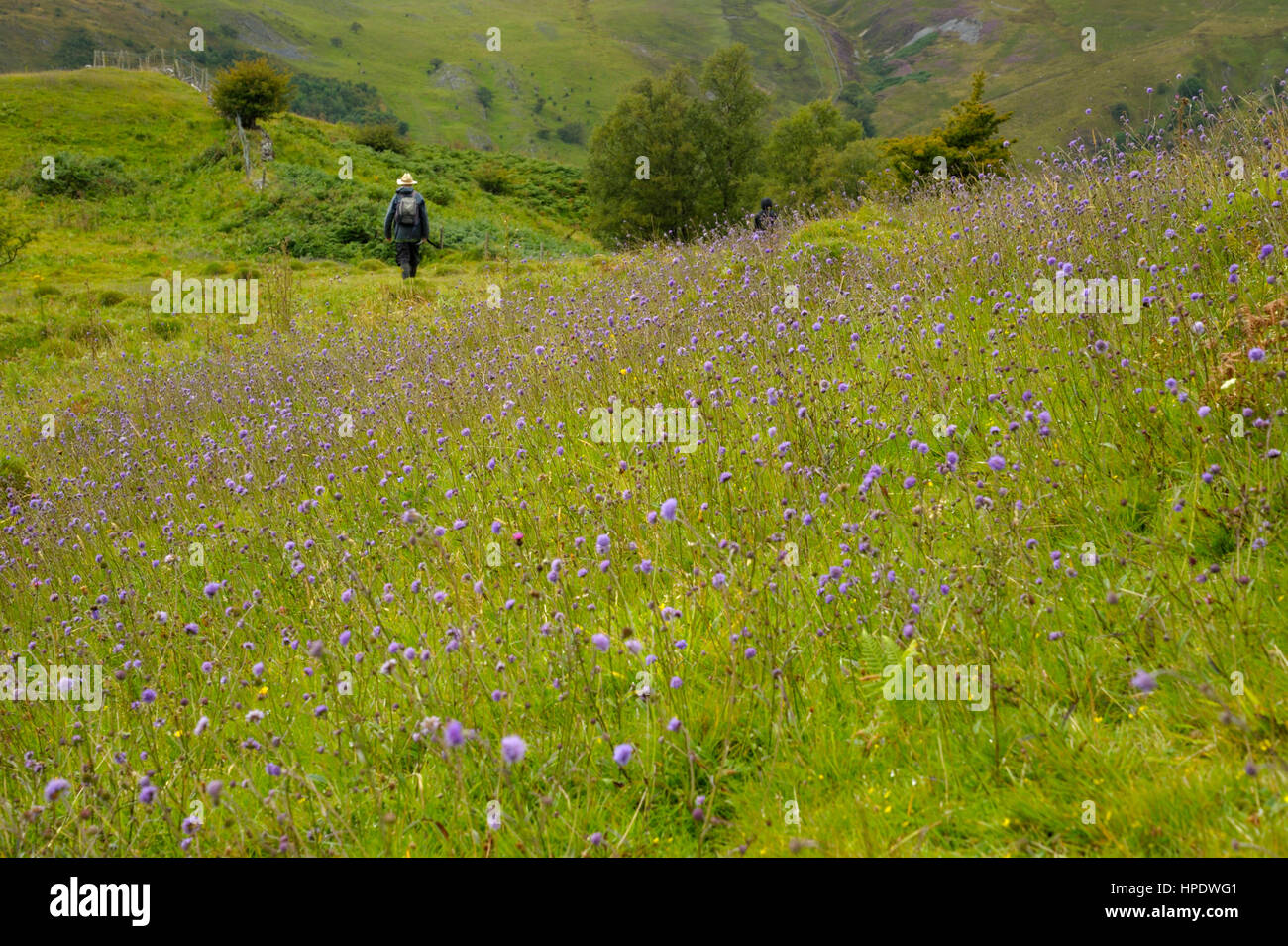 A Man with a Rucksack walking away fro a dense patch of Devil's-bit Scabious, Succisa pratensis - Stock Image