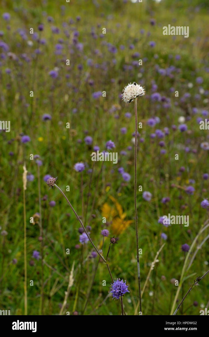 Devil's-bit Scabious, Succisa pratensis, a Whie flower among normal blue ones - Stock Image