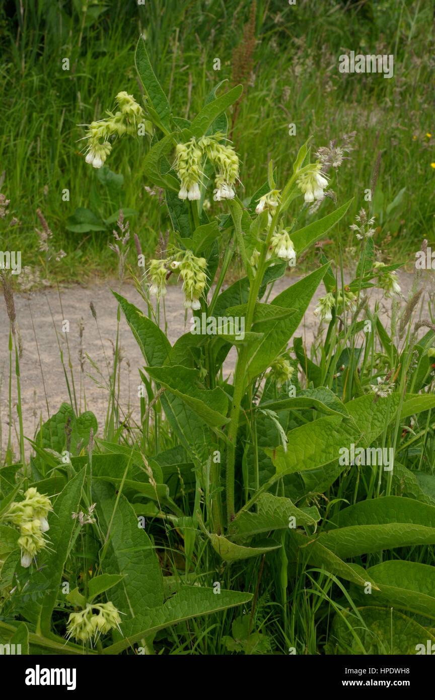 Common Comfrey, Symphytum officinale - Stock Image