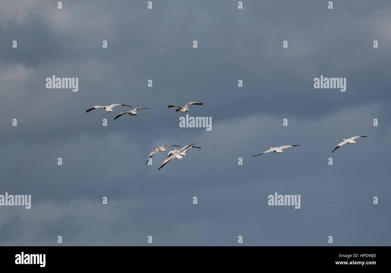 Snow Geese stopping over at Parksville BC to take the opportunity to feed and build on their energy levels before Stock Photo