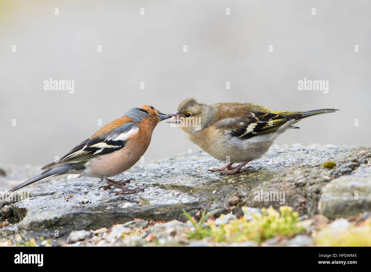 An adult male Chaffinch feeds a recently fledged young bird, Ardnamurchan, Scotland, UK - Stock Image