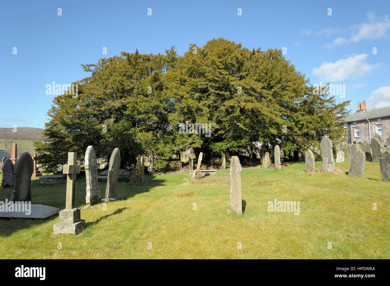 Yew, Taxus baccata, Thought to be over 5000 years old at Defynnog - Stock Image