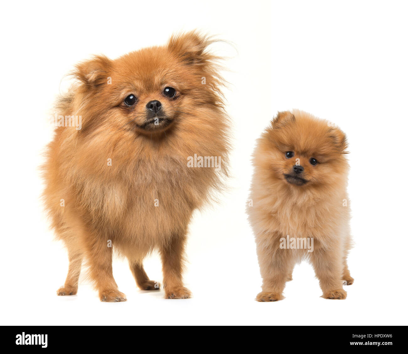 Adult And Puppy Pomeranian Dogs Standing Facing The Camera On A