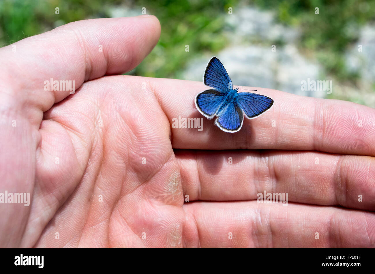 Little blue butterfly resting on a male hand - Stock Image