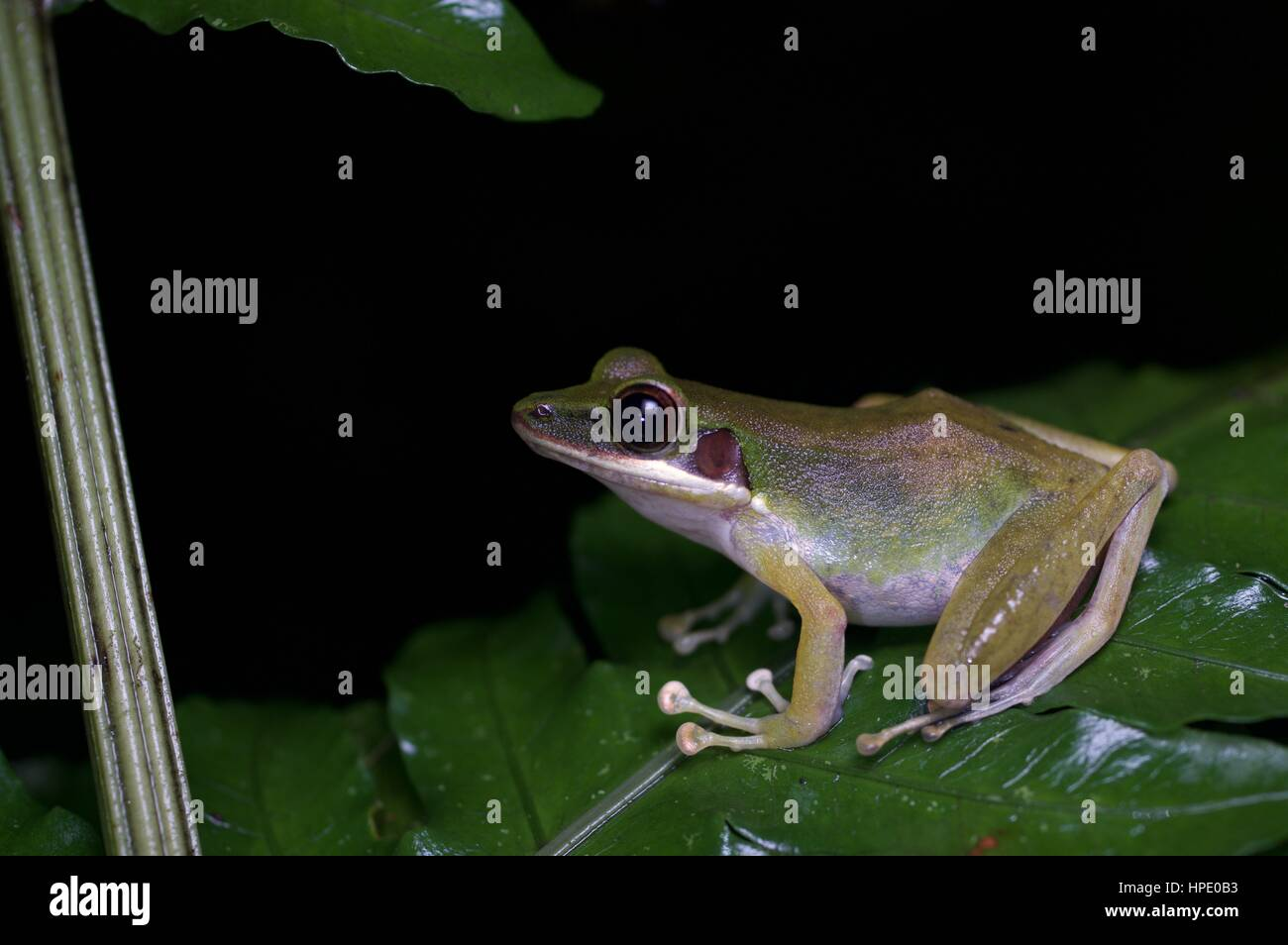 A White-lipped Frog (Chalcorana labialis) on a plant at night in the rainforest in Batang Kali, Selangor, Malaysia - Stock Image