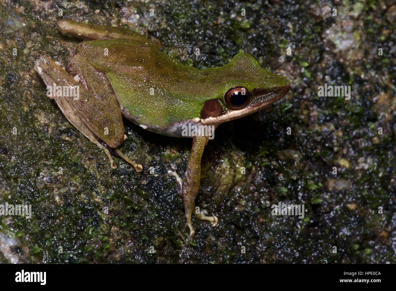 A White-lipped Frog (Chalcorana labialis) on a leaf at night in the rainforest in Ulu Semenyih, Selangor, Malaysia - Stock Image