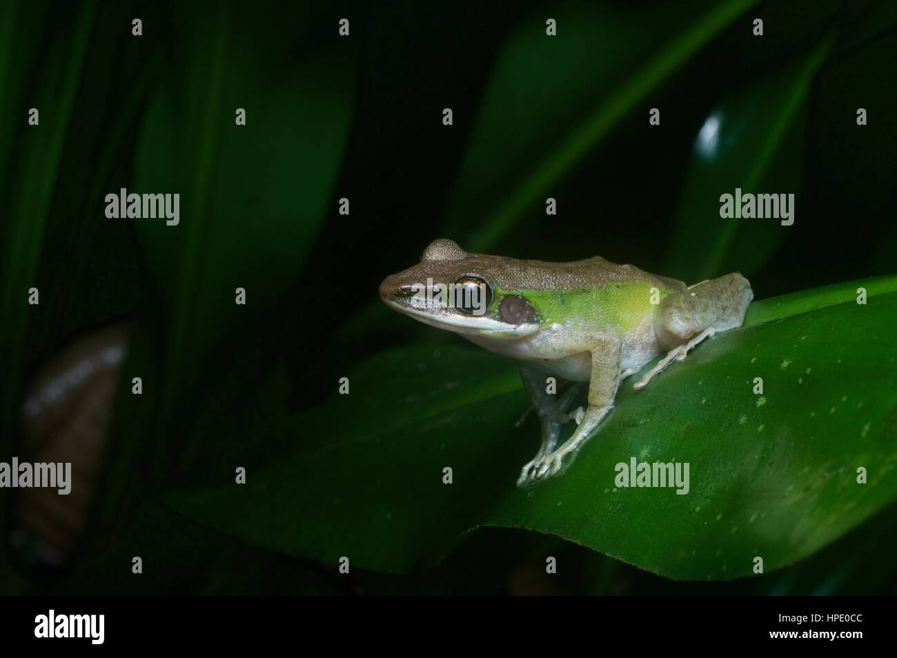 A White-lipped Frog (Chalcorana labialis) on a leaf at night in the rainforest in Ulu Yam, Selangor, Malaysia - Stock Image