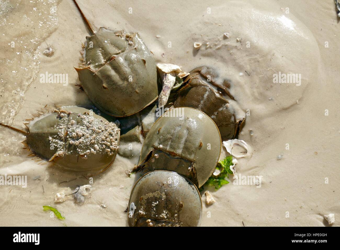 Cluster of Horshoe Crabs (Limulus polythemus$ on the Shore at Cedar Ley, Florida, USA. One with barnacles on its - Stock Image