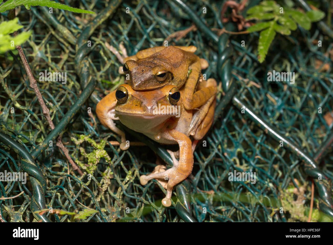 Spot-legged Tree Frog mating - Stock Image