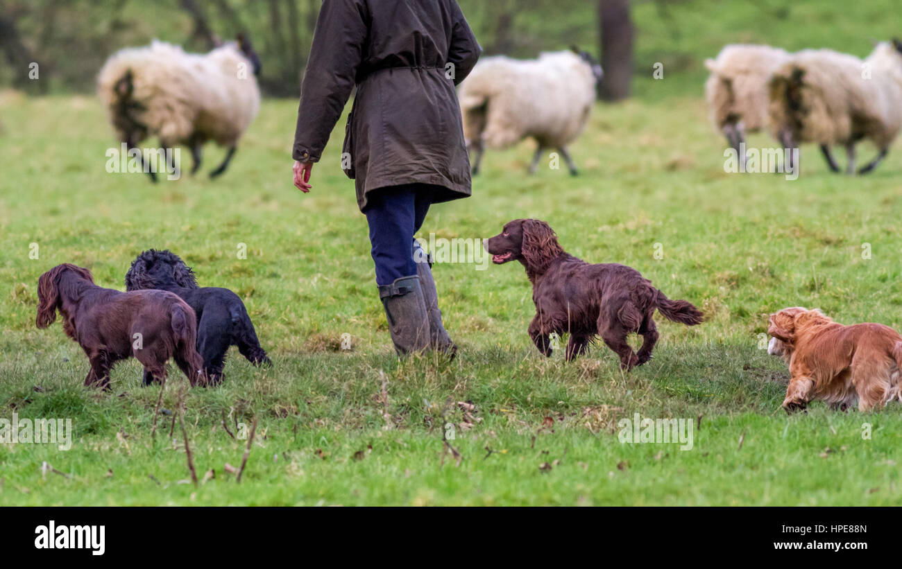 Pets: Four well behaved spaniels off lead with owner as sheep run away in the field, UK - Stock Image